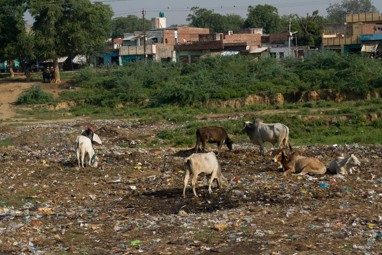 Cows grazing in garbage